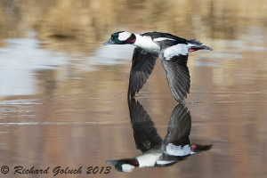 Bufflehead Drake,&quot; The Flying Bullet&quot; by Richard Goluch 